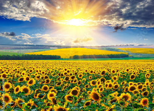Sunflower field at the morning - 80478999