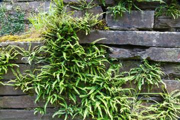 Green deer fern, Blechnum spicant growing out of slate wall.
