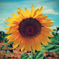 sunflower in a crop, with a filter effect