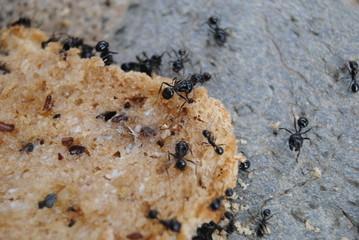 Ameisen auf Brotscheibe