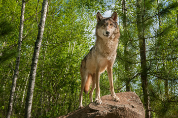 Grey Wolf (Canis lupus) Stands Atop Rock Looking Forward