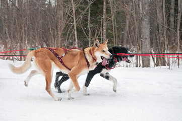 Canine Athletes Race By During Dog Sled Race