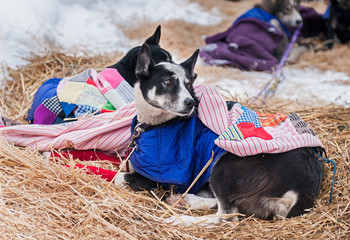Bundled Up Sled Dogs Rest Between Legs of Race