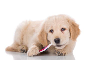 Golden Retriever puppy brushing his teeth sideways