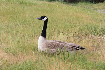 Canadian goose sitting in grass