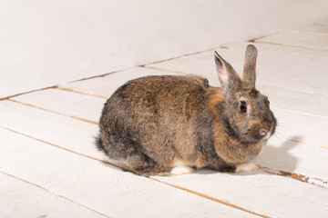 brown bunny sitting on white wooden floor