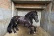 Powerful Stallion horse - 80489516