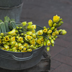 yellow daffodils  in zinc bawl