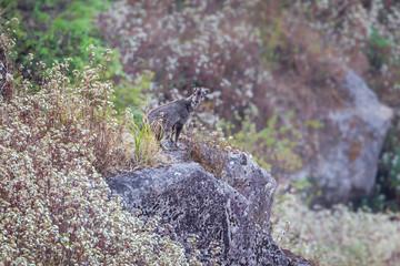 Goral (Naemorhedus caudatus) standing on the rock