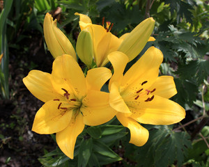 Three yellow lilies in the garden