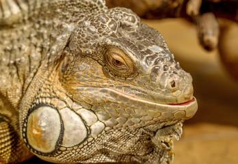 fantastic close-up portrait of tropical iguana. Selective focus,