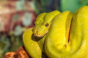 fantastic close-up portrait Green rattlesnake (poisonous Green S