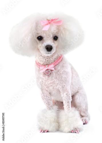 Dog Poodle - 80497141