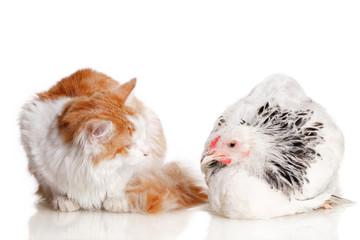 Курица и кошка рядом на белом фоне