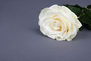 beautiful white rose flower over grey