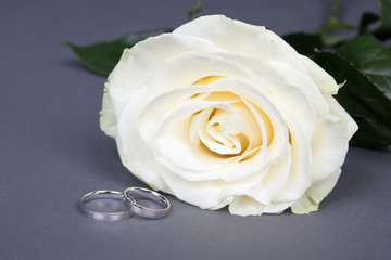 close up of beautiful white rose flower and wedding rings over g