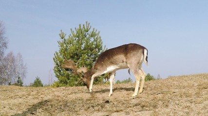 Fallow deer pawing the ground in the soil