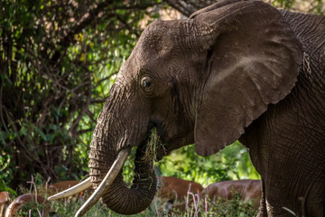 Isolated Lone Elephant eating vegetation in forest