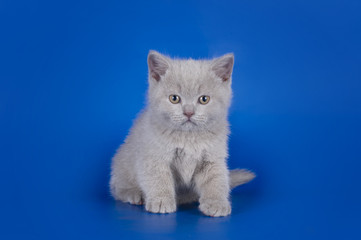 Violet British cat isolated on the blue background