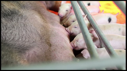 Pig Farming Management