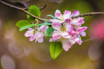 Beautiful pink apple blossom flower. Soft focus.