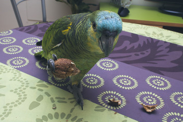 parrot eating nut