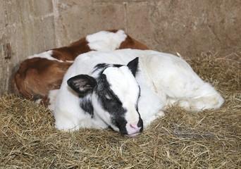 newborn calves in the barn of the farm