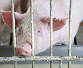 Pink pig's snout in the pigsty of the farm