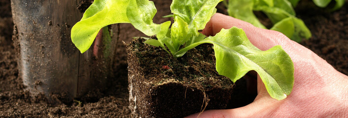 Seeding of lettuce