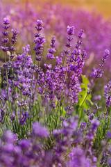 Purple fields of lavender flowers, sunset