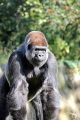 Flachlandgorillas