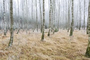 Frosty birch forest