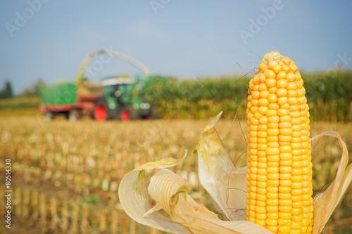 Leinwanddruck Bild Reifer, goldgelber Maiskolben im Vordergrund, Maisernte