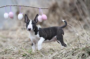 Miniatur Bull Terrier mit Ostereiern