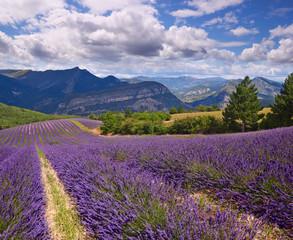 lavender field Summer landscape