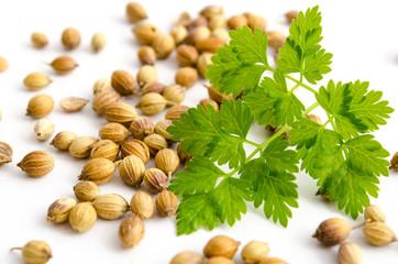 Koriander - Blätter und Samen
