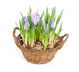 Several purple crocuses  in decorative basket