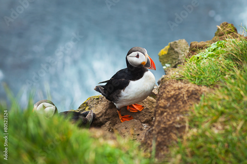 Foto op Aluminium Scandinavië Beautiful Summer Picture of Icelandic Horned Puffin In Iceland