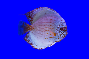 Pompadour Fish on blue background