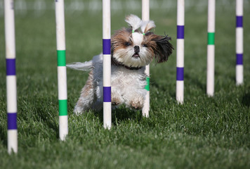 Lhaso Apso dog going through weaves on agility course