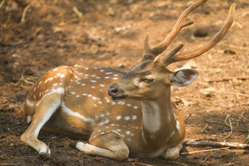 Beautiful Chital deer on the ground