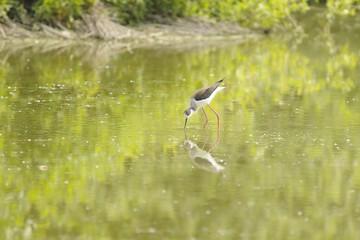 black-winged stilt ( himantopus himantopus ) in a pond