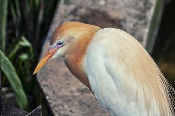 Cattle egret in Kuala Lumpur zoo