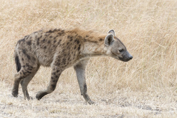 Adult spotted hyena