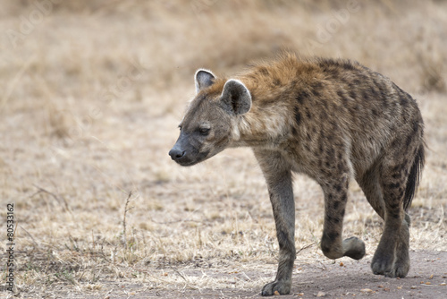 Foto op Aluminium Hyena female hyena walking along farm road