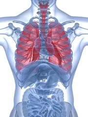 Human Lung. 3D. Human lung