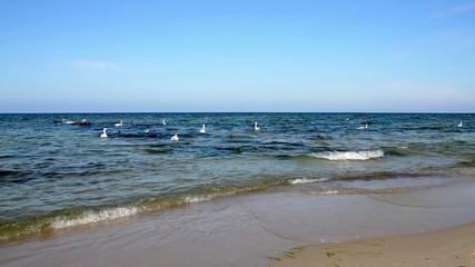 Лебеди качаются на волнах Балтийского моря
