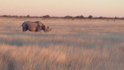 Rhino walking in field Etosha, Namibia, Africa