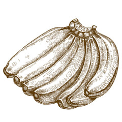 engraving illustration of bananas
