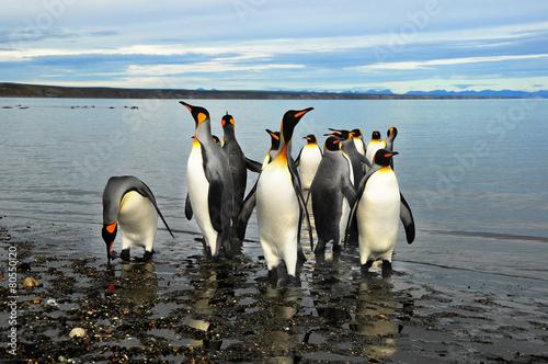 Tuinposter Pinguin Pingüinos de Magallanes en tierra de Fuego